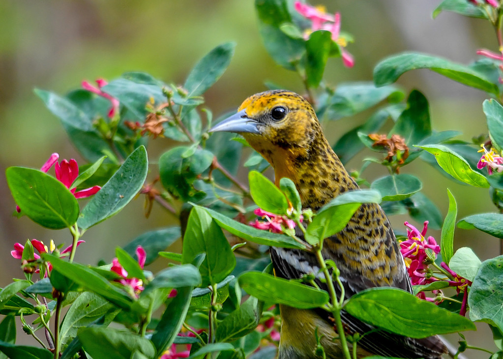 """<div class=""""jaDesc""""> <h4>Female Baltimore Oriole in Honeysuckle Bush - May 26, 2017</h4> <p>This is our second female Baltimore Oriole.  I believe we have two nesting pairs on our property this year.</p> </div>"""