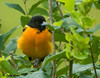 "<div class=""jaDesc""> <h4> Male Baltimore Oriole in Honeysuckle Bush - July 6, 2009</h4> <p>  The honeysuckle bushes in our backyard are full of ripe red berries.  Two male and two female Baltimore Orioles spend alot of time in the bushes eating bugs and berries.  Most of the time they are hidden, but this male popped out briefly. </p> </div>"