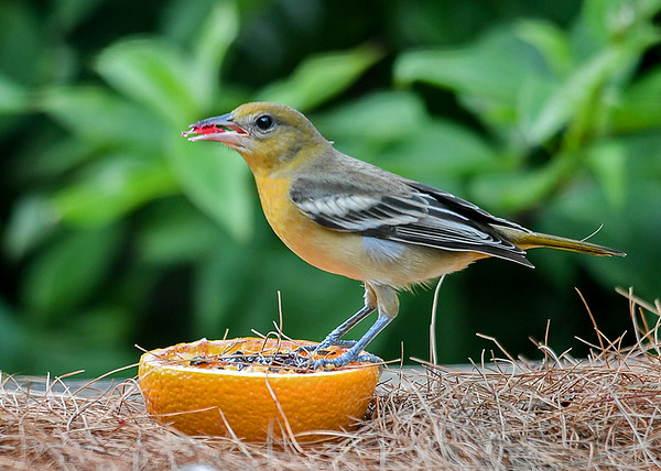 """<div class=""""jaDesc""""> <h4>Adult Female Baltimore Oriole - August 23, 2019</h4> <p>This is the mom.</p> </div>"""
