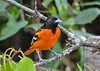"""<div class=""""jaDesc""""> <h4>Male Baltimore Oriole Arrives for Breakfast - August 19, 2018</h4> <p>Scoping out the menu before diving in.</p> </div>"""