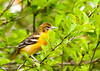 "<div class=""jaDesc""> <h4> Female Baltimore Oriole Looking for More Bugs - May 17, 2013</h4> <p>She worked the branches in front of me for several minutes before moving on.</p> </div>"
