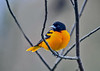 """<div class=""""jaDesc""""> <h4>Male Baltimore Oriole Looking Left - May 4, 2019</h4> <p>Getting familiar with the feeder area layout.</p> </div>"""