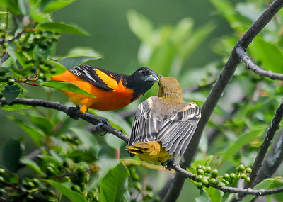 Dad Baltimore Oriole Feeding Juvenile - June 22, 2018 The male Oriole is most often the one feeding the youngsters.  The female may be back on the nest on another set of eggs.