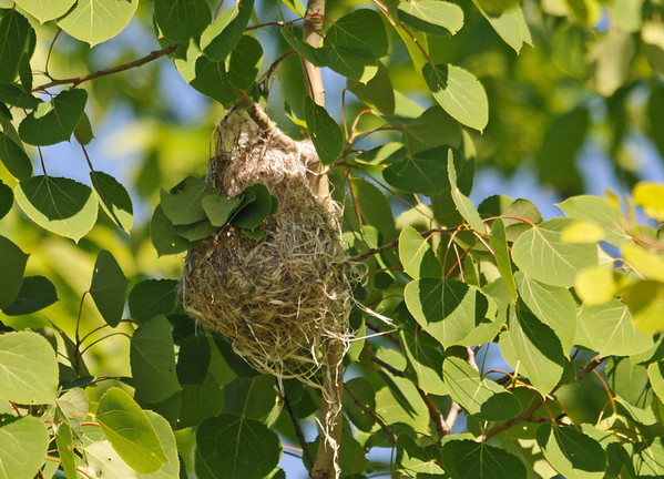 "<div class=""jaDesc""> <h4>Baltimore Oriole Nest - June 1, 2014</h4> <p>This is the Oriole nest that the male was watching over.  I assume the female is inside sitting on eggs since he was chirping to let her know he was nearby.  I will be checking it periodically to see when they start feeding chicks.</p> </div>"