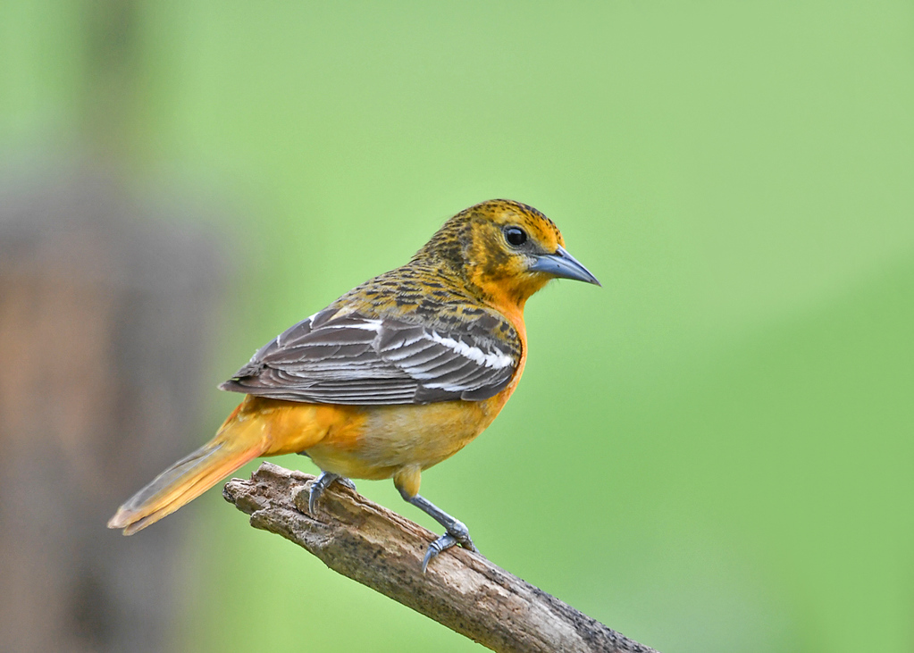 """<div class=""""jaDesc""""> <h4>Female Baltimore Oriole on Perch - May 26, 2017</h4> <p>It is so nice to have these beauties visiting all day long.</p> </div>"""