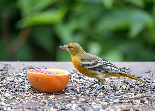 """<div class=""""jaDesc""""> <h4>Immature Female Baltimore Oriole Eating Jelly - July 7, 2016</h4> <p>The juvenile Baltimore Orioles are now visiting the feeder area regularly.  This young female is enjoying the grape jelly and orange flesh.</p> </div>"""