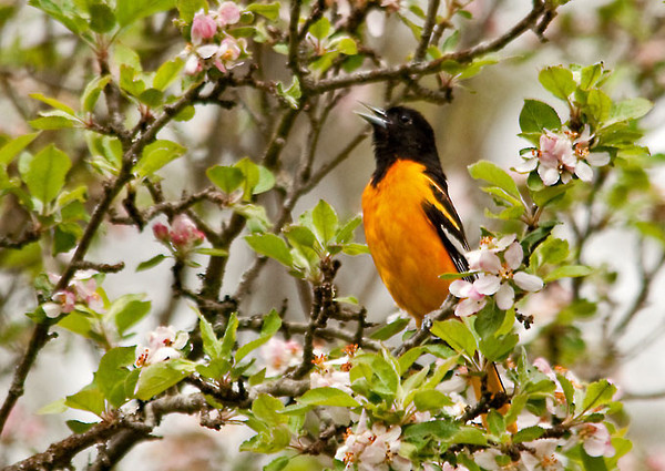 "<div class=""jaDesc""> <h4> Baltimore Oriole Singing in Apple Tree - May 4, 2012</h4> <p> When I first arrived in Shindagin State Forest, a Baltimore Oriole was singing loudly in a roadside apple tree.  What a delightful start to my birding morning!</p> </div>"