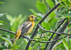 """<div class=""""jaDesc""""> <h4>Juvenile Baltimore Oriole in Cherry Tree - June 22, 2018</h4> <p>The juvenile Orioles are mostly on their own now, hanging out in the front yard much of the day.</p> </div>"""