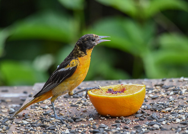 """<div class=""""jaDesc""""> <h4>Juvenile Male Baltimore Oriole Claiming Orange Cup - July 10, 2017</h4> <p>This juvenile male Oriole placed his claw on the orange to tell the Catbirds and Blue Jays - it is my turn, stay away.</p> </div>"""