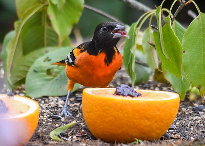 Male Baltimore Oriole Second Bite - August 19, 2018 Balancing a bite on the beak before swallowing.  He and the young Orioles dine periodically all day long until both orange halves are empty and most of the flesh is gone.  The Chipmunks and Catbirds get some too.