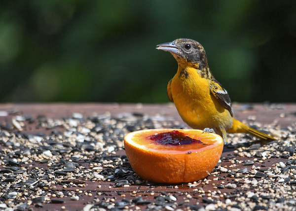 """<div class=""""jaDesc""""> <h4>Female Baltimore Oriole Eating Jelly - July 7, 2016</h4> <p>The mother Oriole was hanging close to her young daughter at the feeder.  She took some time to enjoy the grape jelly too.</p> </div>"""