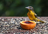 "<div class=""jaDesc""> <h4>Female Baltimore Oriole Eating Jelly - July 7, 2016</h4> <p>The mother Oriole was hanging close to her young daughter at the feeder.  She took some time to enjoy the grape jelly too.</p> </div>"