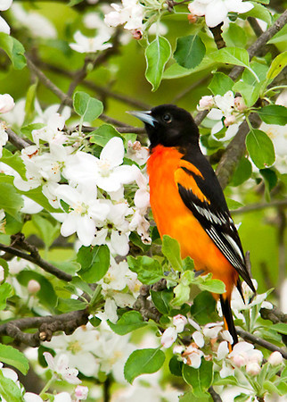 "<div class=""jaDesc""> <h4> Male Baltimore Oriole in Blooming Apple Tree - May 17, 2013</h4> <p> This male Baltimore Oriole was busy collecting bugs on an apple tree.  He took a short break to have his picture taken.</p> </div>"