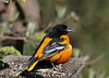 "<div class=""jaDesc""> <h4>Male Baltimore Oriole with Grape Jelly On Tongue - May 8, 2016</h4> <p>Their tongue plays an active role in licking and swallowing the grape jelly.</p> </div>"