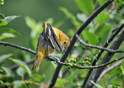 Juvenile Baltimore Oriole Preening Wing Feathers - June 22, 2018
