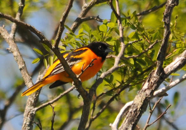 """<div class=""""jaDesc""""> <h4>Male Baltimore Oriole Guarding Nest - June 1, 2014</h4> <p>This male Baltimore Oriole was hanging out in a tree by the road chirping every 20 seconds or so.  It made me think he was communicating with the female, so I started scanning the trees for a nest.  I found it about 30 feet up in a tree on the other side of the road from where he was perched.</p> </div>"""