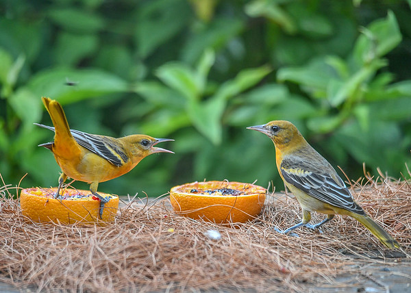 """<div class=""""jaDesc""""> <h4>Juvenile Male Baltimore Orioles at Oranges and Grape Jelly - August 23, 2019</h4> <p>Here are 2 of our 3 juvenile male Baltimore Orioles.  Seems like there should not be any fuss with 2 birds and 2 orange halves.</p> </div>"""