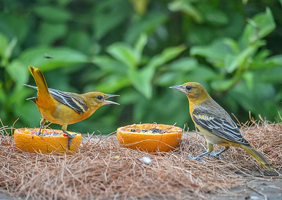 Juvenile Male Baltimore Orioles at Oranges and Grape Jelly - August 23, 2019 Here are 2 of our 3 juvenile male Baltimore Orioles.  Seems like there should not be any fuss with 2 birds and 2 orange halves.
