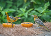 "<div class=""jaDesc""> <h4>Juvenile Male Baltimore Orioles at Oranges and Grape Jelly - August 23, 2019</h4> <p>Here are 2 of our 3 juvenile male Baltimore Orioles.  Seems like there should not be any fuss with 2 birds and 2 orange halves.</p> </div>"