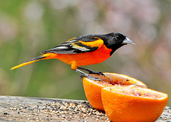 """<div class=""""jaDesc""""> <h4> 3 Different Orioles Dining - May 8, 2014 - Video Attached</h4> <p>The attached video shows 3 of the 5 Orioles taking turns eating the orange and grape jelly.  What a treat to be able to watch these gorgeous birds enjoying a feast. </p>  </div> <center> <a href=""""http://www.youtube.com/watch?v=w6nn8UDWEj8""""  style=""""color: #0AC216"""" class=""""lightbox""""><strong> Play Video</strong></a>"""
