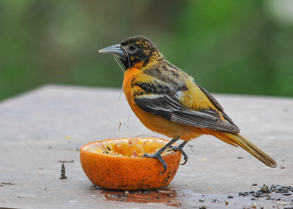 "<div class=""jaDesc""> <h4>Female Baltimore Oriole Finishing Breakfast - May 15, 2016</h4> <p>She is able to multiplex eating with nest material gathering.</p> </div>"