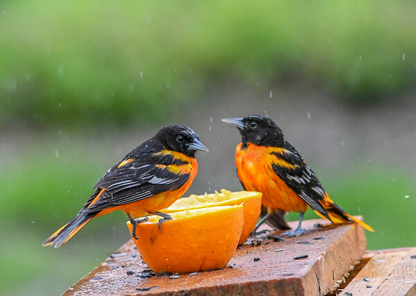 "<div class=""jaDesc""> <h4>Male Baltimore Orioles Eating Oranges and Grape Jelly - May 13, 2019</h4> <p>These 2 male Orioles were peacefully eating together, then a 3rdnarrived and a power play began - see next 13 photos.</p> </div>"