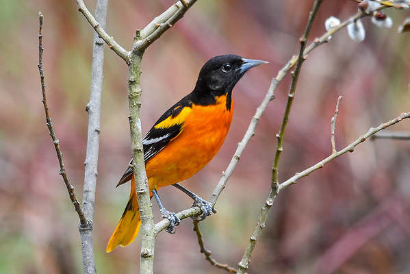 """<div class=""""jaDesc""""> <h4>Male Baltimore Oriole on Pussy Willow Branch - May 4, 2018</h4> <p>I bought some oranges and grape jelly to keep this guy around.</p> </div>"""