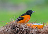 "<div class=""jaDesc""> <h4>Male Baltimore Oriole - At Orange with Jelly - May 6, 2020</h4> <p></p> </div>"
