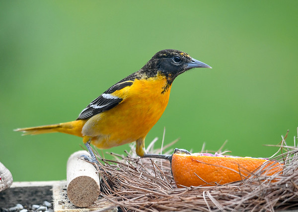 """<div class=""""jaDesc""""> <h4>Female Baltimore Oriole - Claiming Orange with Jelly - May 6, 2020</h4> <p></p> </div>"""