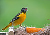 "<div class=""jaDesc""> <h4>Female Baltimore Oriole - Swallowing Blob of Jelly - May 6, 2020</h4> <p>One of 3 female Orioles that arrived.</p> </div>"