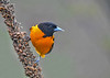 """<div class=""""jaDesc""""> <h4>Male Baltimore Oriole on Dried Mullein Stalk - May 4, 2019</h4> <p>First arrival of the year.</p> </div>"""