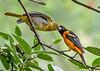 "<div class=""jaDesc""> <h4>Dad Oriole Feeding Male Juvenile - July 13, 2020</h4> <p></p> </div>"