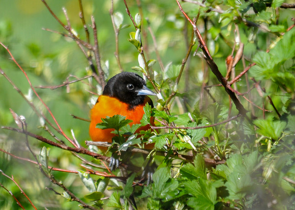 """<div class=""""jaDesc""""> <h4>Male Baltimore Oriole in Bush - May 8, 2016</h4> <p>This is the second male that arrived today.  He is darker orange than the first male, and chases him around.</p> </div>"""