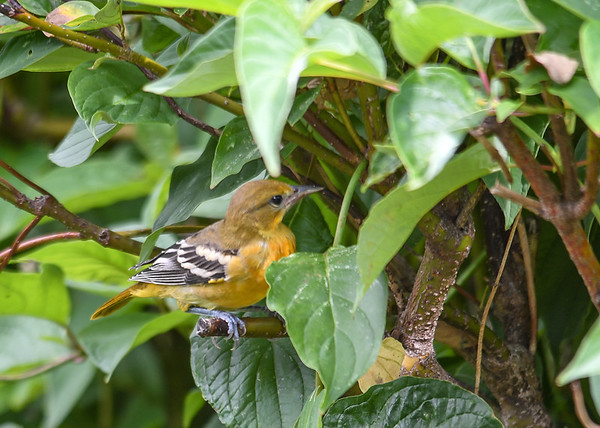 "<div class=""jaDesc""> <h4>Immature Female Baltimore Oriole Eating Bugs - July 7, 2016</h4> <p>Another part of the Oriole diet is bugs.  This young female was hopping through the branches of our red-twig dogwood bush and snatching bugs off the leaves.</p> </div>"
