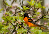 "<div class=""jaDesc""> <h4> Baltimore Oriole Watching Other Male - May 4, 2012</h4> <p> This second male Baltimore Oriole was keeping a close eye on the other male as they competed for territory. They were vigorously chasing each other and chattering loudly all morning.</p> </div>"