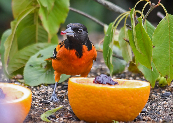 """<div class=""""jaDesc""""> <h4>Male Baltimore Oriole First Bite - August 19, 2018</h4> <p>Just a small nibble of grape jelly to start.</p> </div>"""