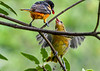 "<div class=""jaDesc""> <h4>Male Juvenile Oriole Ready for Grape Jelly - July 13, 2020</h4> <p></p> </div>"