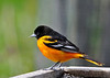 "<div class=""jaDesc""> <h4> Male Baltimore Oriole Arrives - May 6, 2014</h4> <p> I was delighted to see this brightly colored Baltimore Oriole at our feeders this morning.  Normally I hear one days before they venture into the yard.  Now that he is here, I can look forward to loud calling starting at 5:30AM until he finds a mate.</p> </div>"