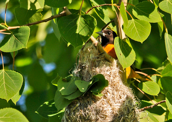 """<div class=""""jaDesc""""> <h4>Male Baltimore Oriole at Nest - June 5, 2014</h4> <p>The male Oriole had just reached way down in the pouch to feed one of the chicks.</p> </div>"""