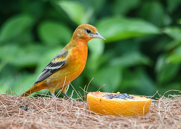 """<div class=""""jaDesc""""> <h4>Juvenile Male Baltimore Oriole Checking Out Orange and Grape Jelly - August 23, 2019</h4> <p></p> </div>"""