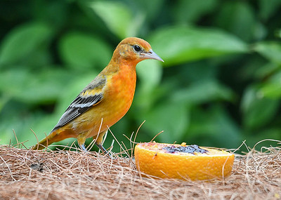 Juvenile Male Baltimore Oriole Checking Out Orange and Grape Jelly - August 23, 2019