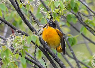 Female Baltimore Oriole Flirting - May 11, 2018 This second female was flirting with one of the males by fluttering her wings.