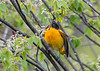 "<div class=""jaDesc""> <h4>Female Baltimore Oriole Flirting - May 11, 2018</h4> <p>This second female was flirting with one of the males by fluttering her wings.</p> </div>"
