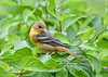 """<div class=""""jaDesc""""> <h4>Juvenile Female Baltimore Oriole Looking Down at Orange and Grape Jelly - August 23, 2019</h4> <p></p> </div>"""