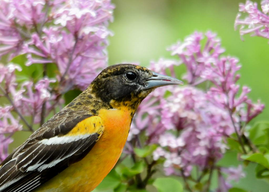 """<div class=""""jaDesc""""> <h4>Female Baltimore Oriole in Lilac - May 27, 2017</h4> <p>This female Baltimore Oriole has more black on her head than other females do.</p> </div>"""