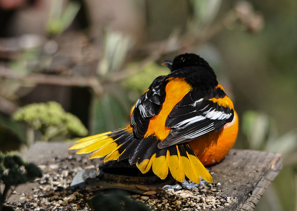 "<div class=""jaDesc""> <h4>Male Baltimore Oriole Tail Fanned - May 8, 2016</h4> <p>This male Baltimore Oriole was warning off a Blue Jay as he was enjoying grape jelly in the orange half.</p> </div>"
