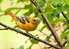 "<div class=""jaDesc""> <h4> Female Baltimore Oriole Arrives - June 2, 2013</h4> <p> Our male Baltimore Oriole has been calling loudly all day long for 2 weeks.  Yesterday the calling stopped and I thought he had given up.  Today, this gal showed up in our front yard - he has found his mate.</p> </div>"