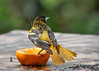 "<div class=""jaDesc""> <h4>Female Baltimore Oriole Tail Fanned - May 15, 2016</h4> <p>This female Baltimore Oriole was warning off the male orioles while she was eating her breakfast of orange and grape jelly.  The males have already had more than their share.</p> </div>"