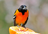 "<div class=""jaDesc""> <h4>Male Baltimore Oriole Eating Orange - May 8, 2014</h4> <p>Today we had 4 males and a female taking turns at this very popular breakfast treat.  This one was the first to eat the orange, after most of the jelly had already been devoured.</p> </div>"
