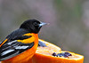 "<div class=""jaDesc""> <h4> Male Baltimore Oriole - Yum - May 8, 2014</h4> <p> This is the fourth male Baltimore Oriole who was actually the first to sample the grape jelly.  He had just taken his first bite and has that approving look on his face as he savors the taste.  Only one male has stayed, and I think the female moved on as well because the remaining male is now moving around the property calling.</p> </div>"